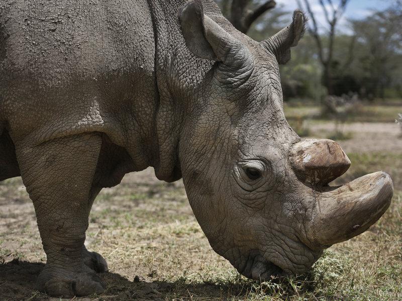 Last male Northern Rhino