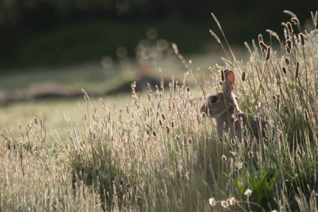 Wil Rabbit in grass field